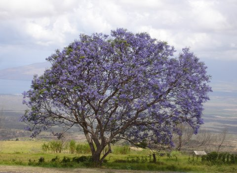 Jacaranda Tree in Kula May 2007